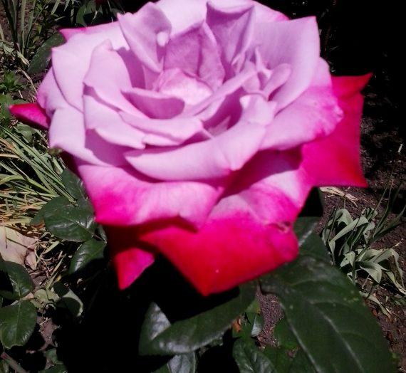 Весенняя и летняя обрезка роз.