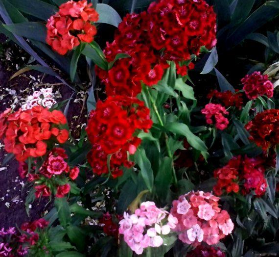 Выращивание декоративных цветочных двулетников.