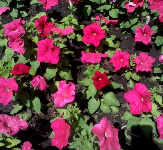 Выращивание декоративных цветочных однолетников.