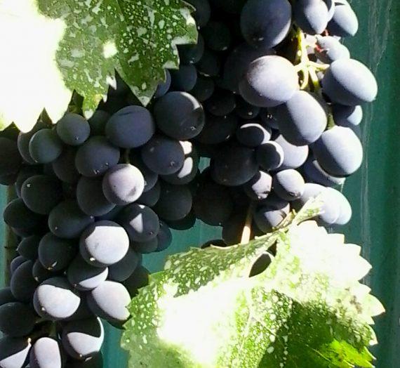 Виноград. Первые работы в саду.