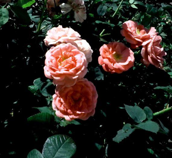 Подкормки для роз.