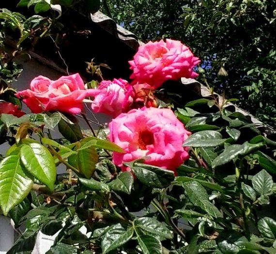 Размножение роз черенками и отводками.