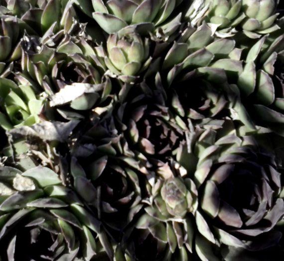 Декоративные растения для альпийского сада и рокария.