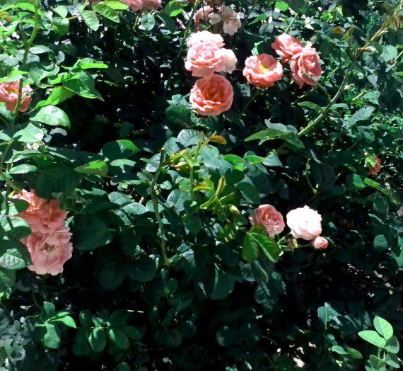 Обрезка роз осенью. Подготовка и укрытие на зиму.