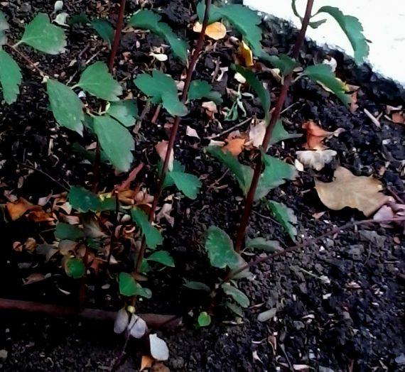 Как размножить растение отводками.