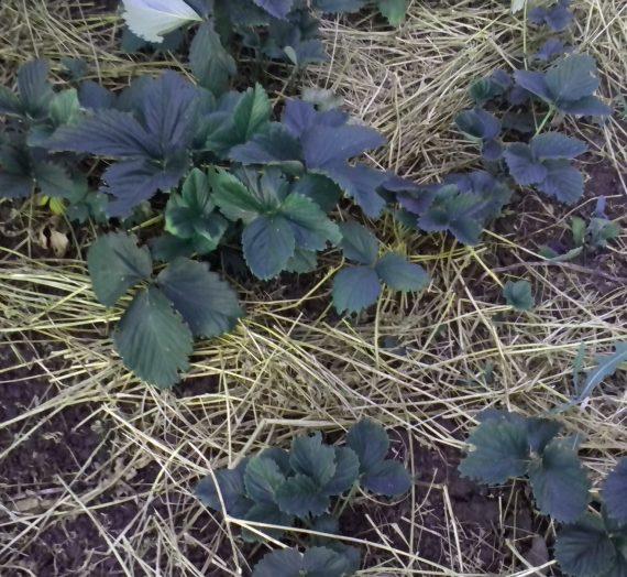 Как защитить растение в сильную жару и засуху.
