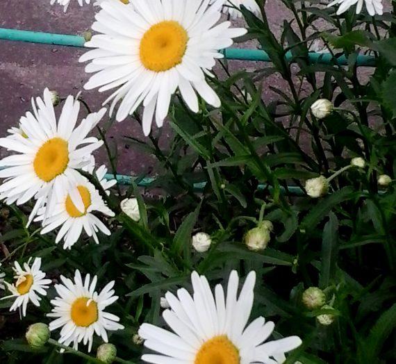 Нивяник, или ромашка. Выращивание в саду. Посадка и уход.