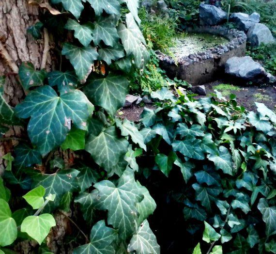 Плющ садовый вечнозеленый. Описание. Посадка и уход. Размножение.