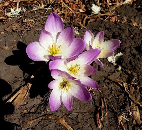 Безвременник, или колхикум. Фото. Описание. Выращивание в саду. Уход. Размножение.