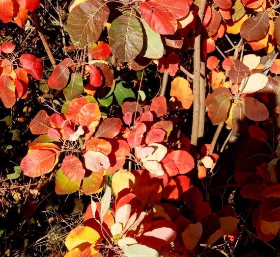 Скумпия кожевенная. Условия выращивания и уход. Размножение